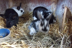 konijnen_001